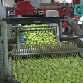 Cup sorting machine for apples an orchard farm in Ukraine