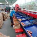 Comprehensive line for sorting tomatoes launched!